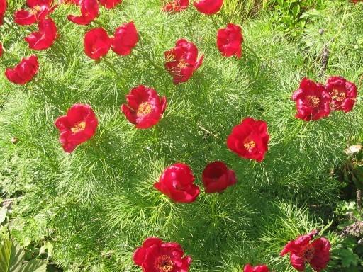 Цветы цветок пион горшок кашпо скатерть стол.