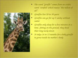 "The word ""giraffe"" comes from an arabic word 'zirafah' which means ""the tall"