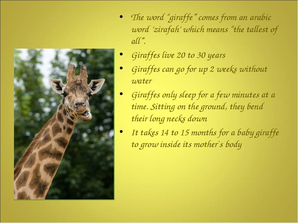 "The word ""giraffe"" comes from an arabic word 'zirafah' which means ""the tall..."