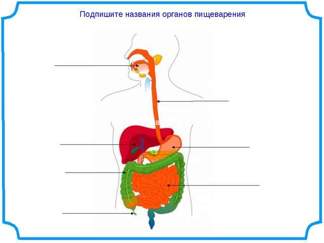 Подпишите названия органов пищеварения обязательно обязательно
