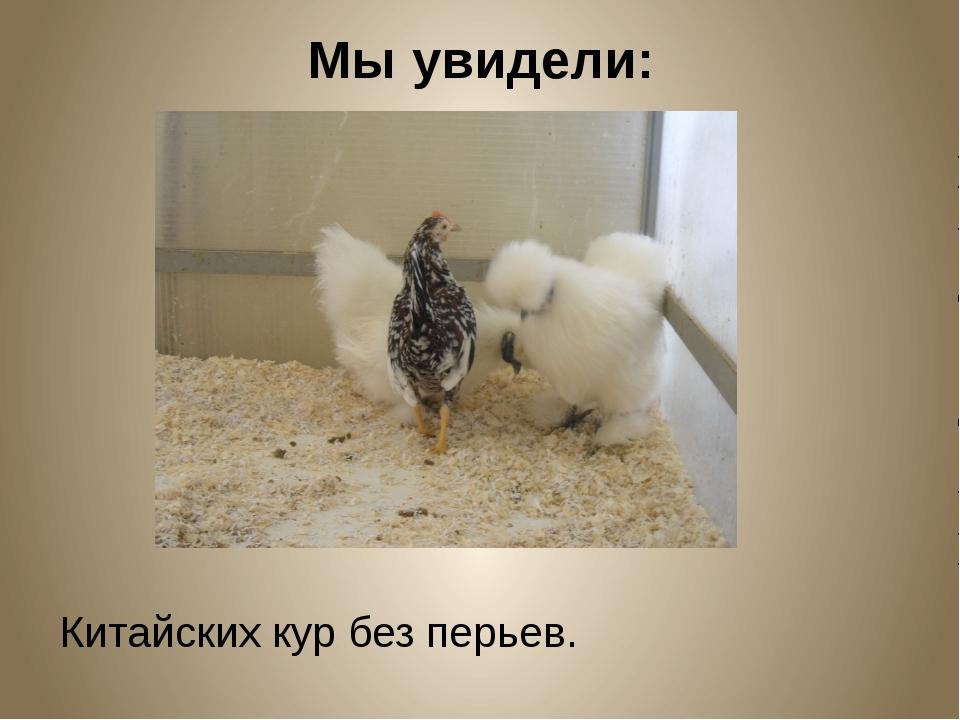 Мы увидели: Китайских кур без перьев.