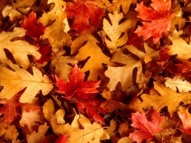 Листья, желтые, красные, дуб, клен, осень обои, фото, картинки