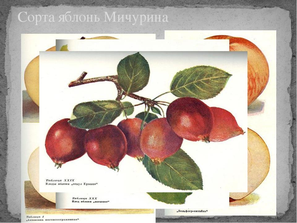 Сорта яблонь Мичурина