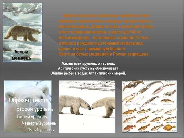 белый медведь Наиболее распространённым зверем Арктики является самый крупны...
