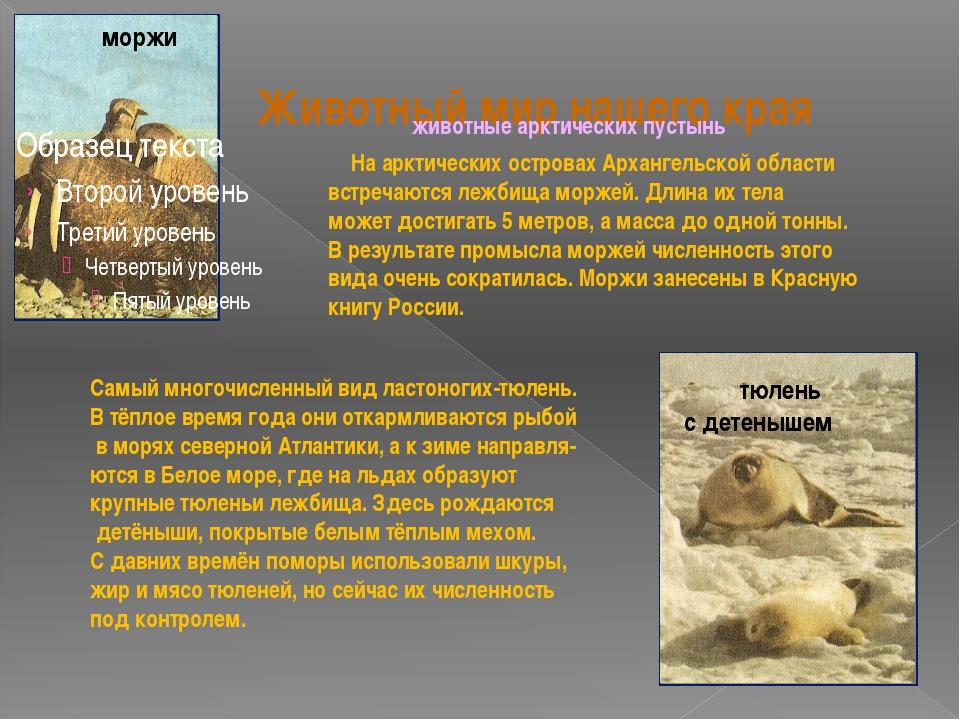 Животный мир нашего края тюлень с детенышем моржи На арктических островах Арх...