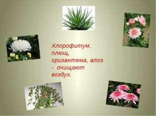Хлорофитум, плющ, хризантема, алоэ - очищают воздух.