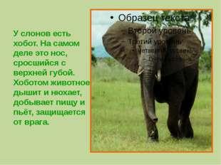 У слонов есть хобот. На самом деле это нос, сросшийся с верхней губой. Хобот
