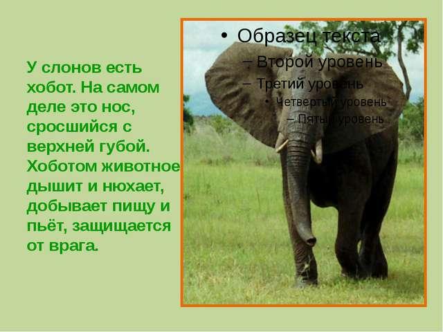 У слонов есть хобот. На самом деле это нос, сросшийся с верхней губой. Хобот...