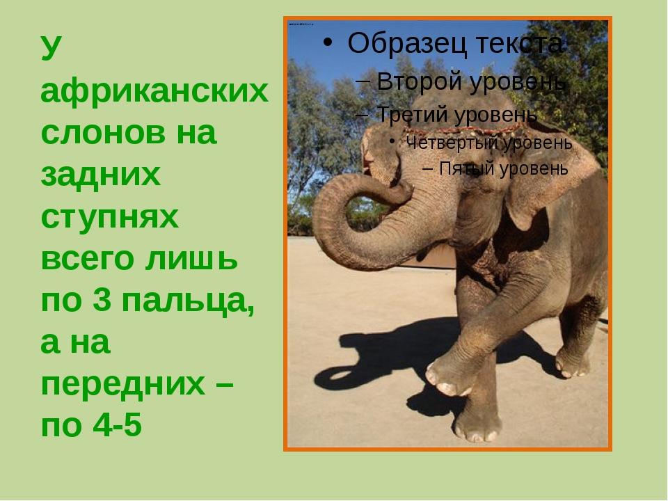 У африканских слонов на задних ступнях всего лишь по 3 пальца, а на передних...