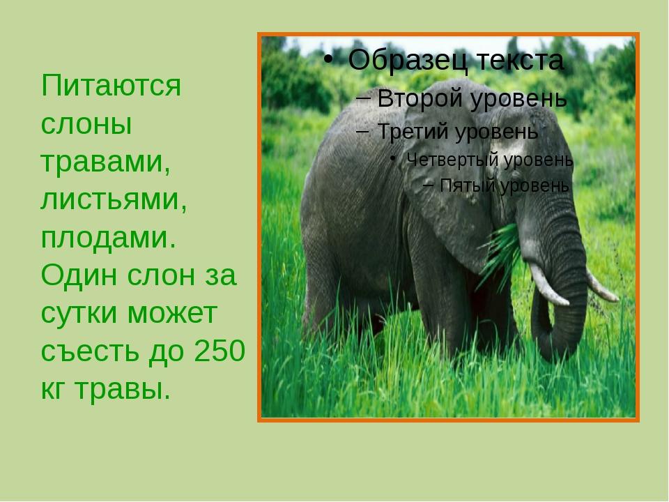 Питаются слоны травами, листьями, плодами. Один слон за сутки может съесть д...