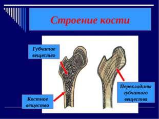 Строение кости Костное вещество Губчатое вещество Перекладины губчатого вещес