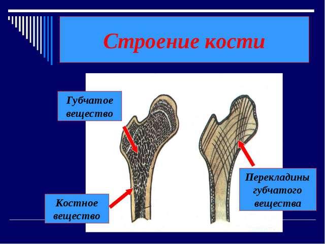 Строение кости Костное вещество Губчатое вещество Перекладины губчатого вещес...