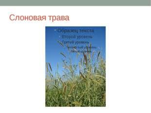 Слоновая трава