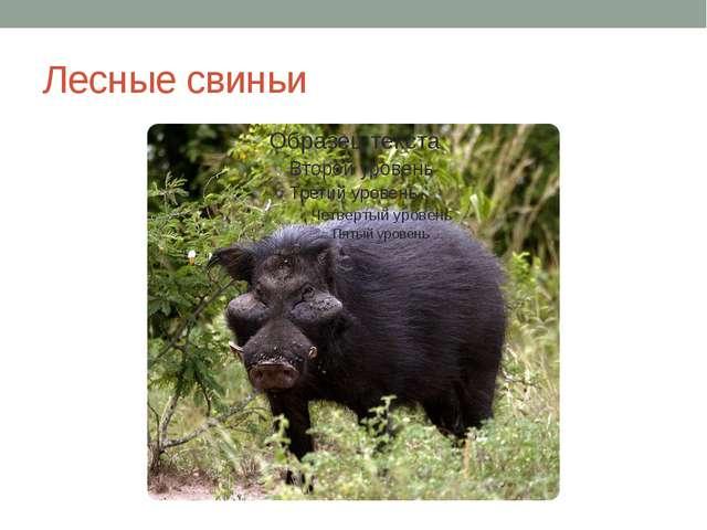 Лесные свиньи