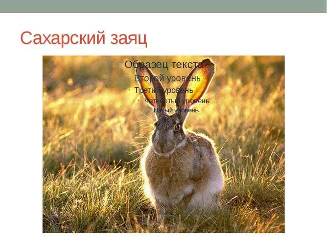 Сахарский заяц