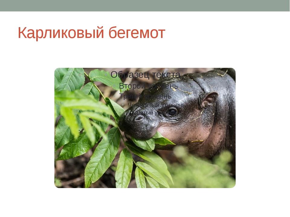 Карликовый бегемот