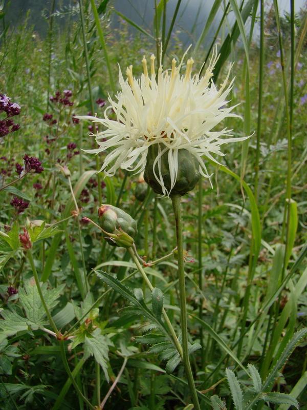 Василёк - цветок кентавра