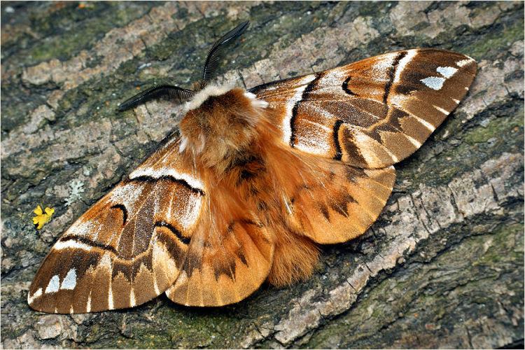 MacroID.RU - Endromis versicolora