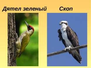 Дятел зеленый Скоп