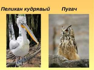 Пеликан кудрявый Пугач