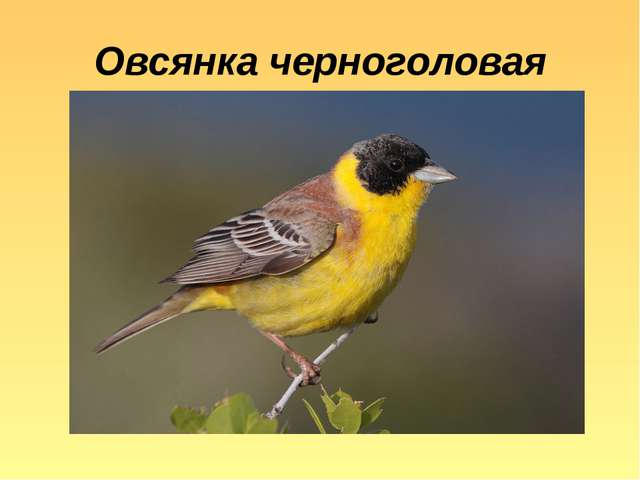 Овсянка черноголовая