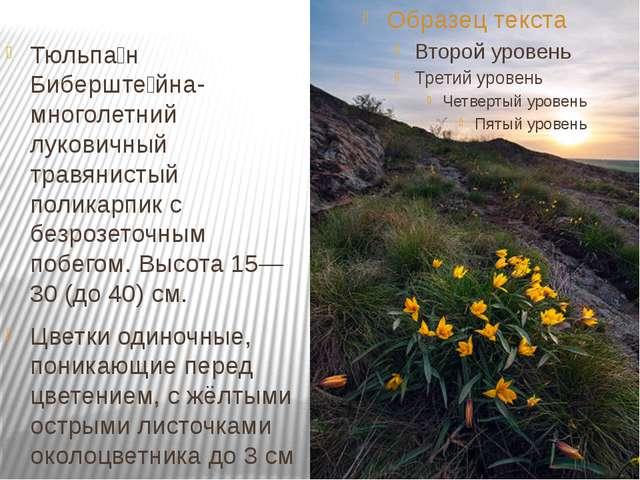 Тюльпа́н Биберште́йна-многолетний луковичный травянистый поликарпик с безроз...