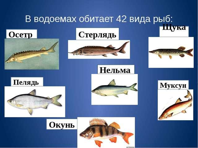 В водоемах обитает 42 вида рыб: Осетр Пелядь Нельма Стерлядь Окунь Муксун Щука