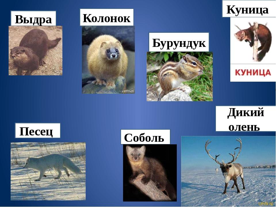 Дикий олень Куница Выдра Колонок Соболь Песец Бурундук