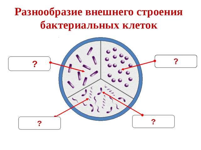 Разнообразие внешнего строения бактериальных клеток ? ?
