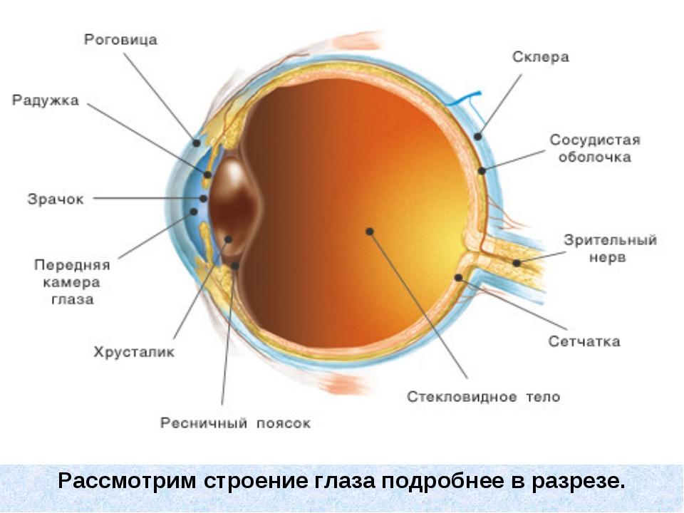 Рассмотрим строение глаза подробнее в разрезе.