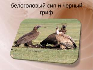 белоголовый сип и черный гриф