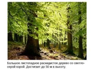 Большое листопадное раскидистое дерево со светло-серой корой. Достигает до 50