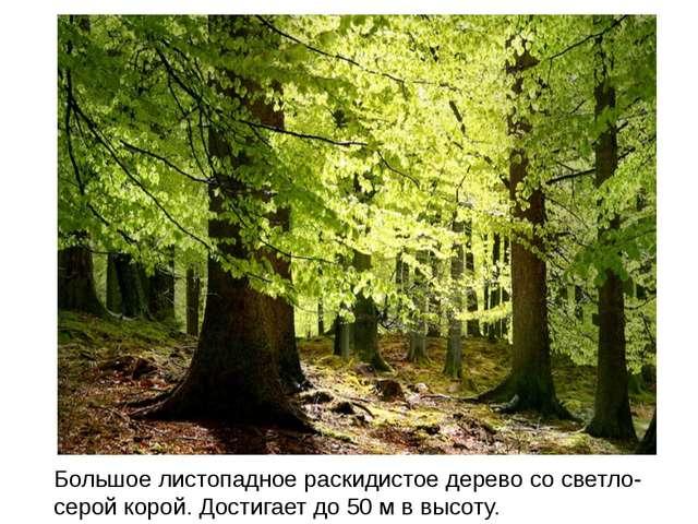 Большое листопадное раскидистое дерево со светло-серой корой. Достигает до 50...