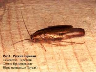 Рис.1. Рыжий таракан Семейство: Тараканы Отряд: Прямокрылые Blatta germanica