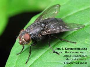 Рис. 3. Комнатная муха Семейство: Настоящие мухи Отряд: Двукрылые Musca domes