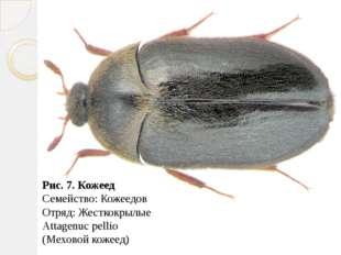 Рис. 7. Кожеед Семейство: Кожеедов Отряд: Жесткокрылые Attagenuc pellio (Мехо