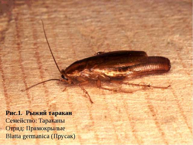 Рис.1. Рыжий таракан Семейство: Тараканы Отряд: Прямокрылые Blatta germanica...