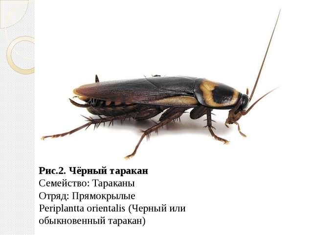Рис.2. Чёрный таракан Семейство: Тараканы Отряд: Прямокрылые Periplantta orie...