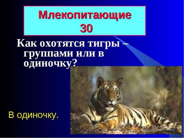 Как охотятся тигры – группами или в одиночку? Млекопитающие 30 В одиночку.