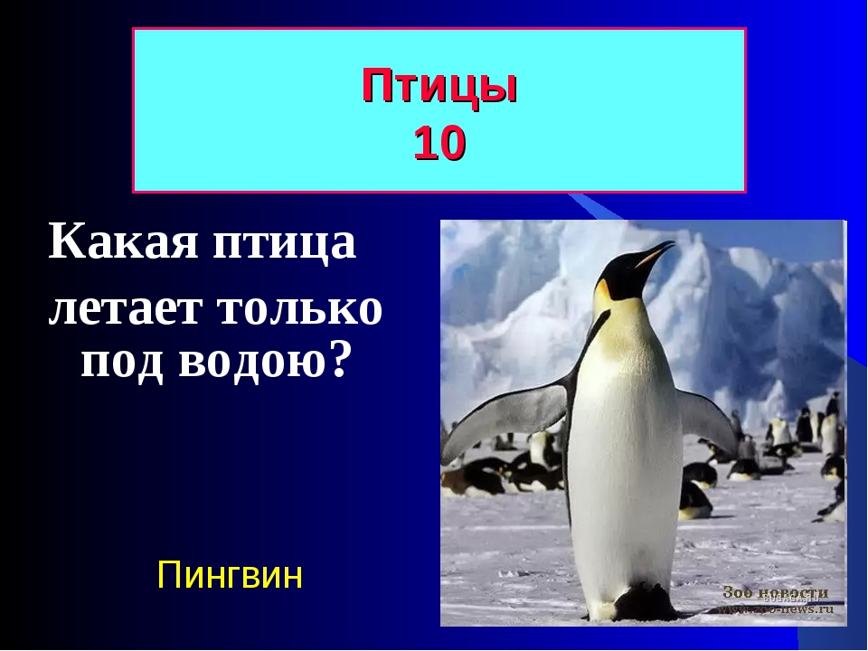 Какая птица летает только под водою? Птицы 10 Пингвин