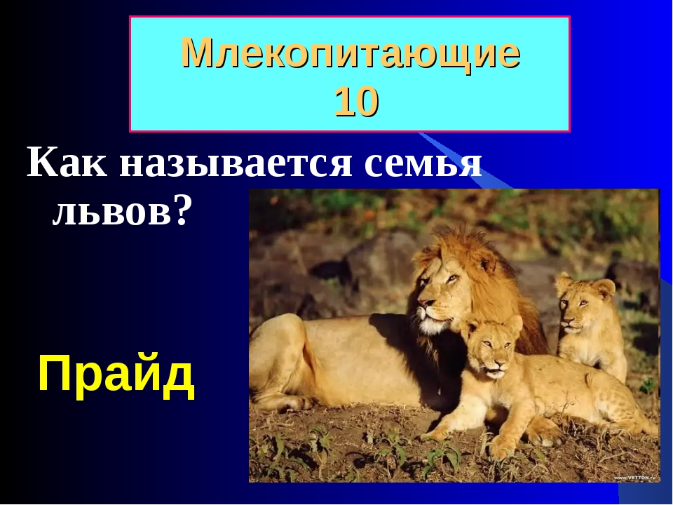 Как называется семья львов? Млекопитающие 10 Прайд