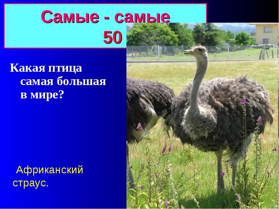Самые - самые 50 Какая птица самая большая в мире? Африканский страус.
