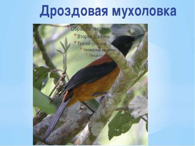 Дроздовая мухоловка