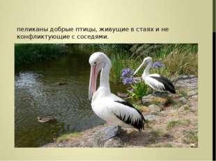 пеликаны добрые птицы, живущие в стаях и не конфликтующие с соседями.