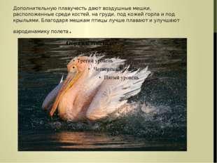 Дополнительную плавучесть дают воздушные мешки, расположенные среди костей, н