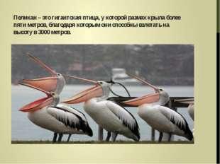 Пеликан – это гигантская птица, у которой размах крыла более пяти метров, бл