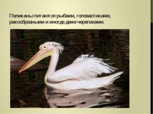Пеликаны питаются рыбами, головастиками, ракообразными и иногда даже черепаха