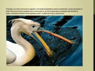 Пеликаны способны охотиться в группах. Они могут направлять рыбу на мелководь