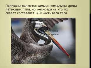 Пеликаны являются самыми тяжелыми среди летающих птиц, но, несмотря на это, и