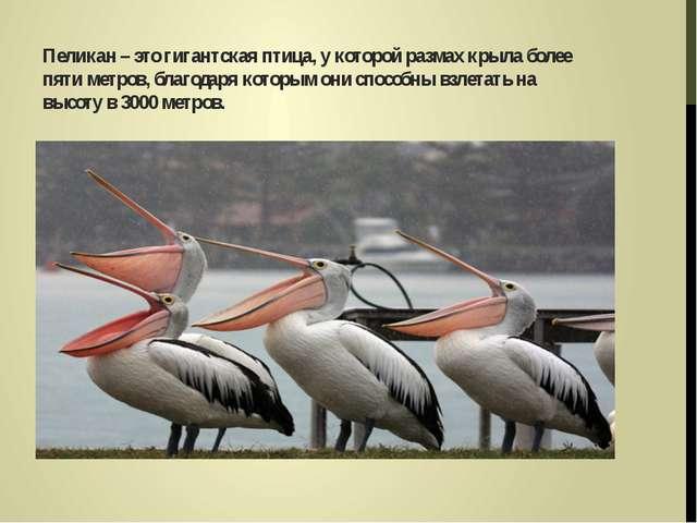Пеликан – это гигантская птица, у которой размах крыла более пяти метров, бл...